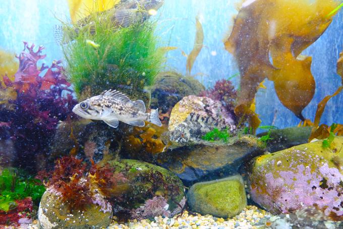 昆布日本一の町・函館ならでは!海藻と魚の水槽展示~函館朝市ミニ水族館